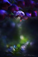 Midnight Flowers II (MaaykeKlaver) Tags: flowers light plants macro nature fairytale night dark soft purple bokeh midnight mysterious