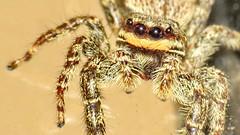 jumping spider (Mattijsje) Tags: macro up closeup fauna spider jumping eyes close legs critter spin critters springspin kraaloogjes