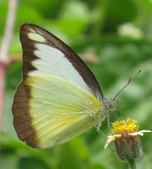 Appias lyncida eleonora, Chocolate Albatross (Birdernaturalist) Tags: nepal butterfly pieridae richhoyer