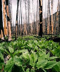 Regrowth (NinjaWeNinja) Tags: nature forest canon fire colorado burn burned rockymountainnationalpark 6d 1635