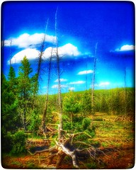 Twisted beauty... (Sherrianne100) Tags: beauty nationalpark yellowstone wyoming deadtrees