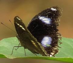Hypolimnas bolina, Great Eggfly (Birdernaturalist) Tags: nepal butterfly nymphalidae nymphalinae richhoyer