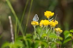 Silver-studded Blue AM8Q6695.jpg (alanmcbride1) Tags: france butterfly butterflies aude languedoc corbieres plebejusargus silverstuddedblue