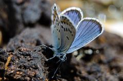 Common Blue Butterfly (alexspengler) Tags: animal outdoor kosova kosovo