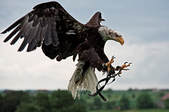 Angriff (Godwi_) Tags: tiere eagle adler attack bald raubvogel greifvogel angriff zugriff anmimals weiskopfseeadler
