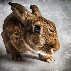 Sneaking Bunny (Jeric Santiago) Tags: pet rabbit bunny animal conejo lapin hase kaninchen うさぎ 兎 winterrabbit
