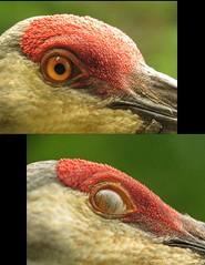 Crane nictitating membrane (Photos by the Swamper) Tags: birds cranes sandhillcranes wadingbirds