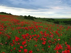 Beacon Poppies (baxter.ad) Tags: uk red england rural sussex seeds poppies fields wildflowers beacon ditchling
