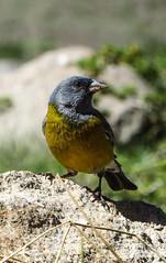 Cometocino de gay (Grey-hooded Sierra-Finch) (Matias Barrios) Tags: chile bird nature fauna cajondelmaipo reservaelmorado