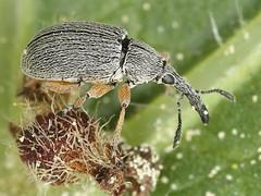 Rhopalapion longirostre (Apionidae),  (gbohne) Tags: macro male canon insect flash beetle insects makro insekt arthropods arthropoda tier insekten kfer weevil stockrose insecta mnnchen rsselkfer commonhollyhock taxonomy:class=insecta geo:country=germany taxonomy:phylum=arthropoda taxonomy:family=brentidae spitzmausrssler taxonomy:subphylum=hexapoda geo:region=europe taxonomy:binomial=rhopalapionlongirostre taxonomy:genus=rhopalapion