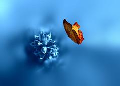 Prajna {Explored ::: 15-06-2016} (Images  Fantasy) Tags: prajna blue flower butterfly conceptual art wisdom sabidura advaita vedanta ramana maharshi i am yo soy autoinvestigacin autoindagacin autorealizacin atman
