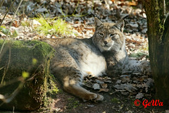 Eurasischer Luchs (Geralds-Raubtiere) Tags: tiergartennürnberg eurasischerluchs