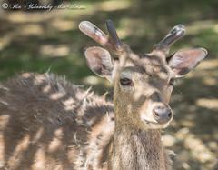 Mr. Deer (Dr. Ilia) Tags: ontario canada zoo deer killmanzoo