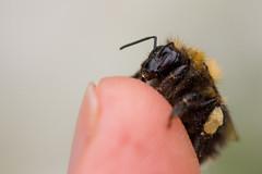 IMG_7564 (ruut103) Tags: closeup fauna photo bee