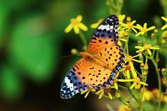 Argyreus hyperbius (Linnaeus, 1763) (Shawn Dai) Tags: butterfly lepidoptera argyreushyperbius argyreus hyperbius
