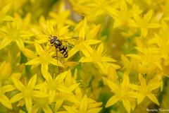 Perdu dans le jaune. (musette thierry) Tags: macro yellow jaune photo reflex nikon thierry insecte d600 musette