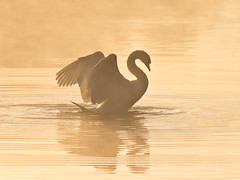 Mute swan - dawn rising (Tony McLean) Tags: dawn muteswan naturephotography eastyorkshire dawnlight wildlifephotography tophilllow nikond4 nikon500f4gvr 2016tonymclean