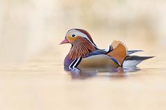 Mandarin Duck (Gianluca Mariani Nature Photographer) Tags: wild wildlife natura anatra naturalibera anatramandarina natura28