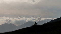 A lone Raven eyeing it's hunting grounds (ross_vernal (Scottish Dream Photography)) Tags: sunset mountain mountains silhouette evening scotland highlands walk scottish hike raven benlomond cobbler munro westhighlands eos70d
