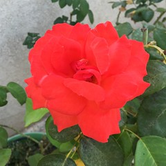 Vibrant Las Vegas Rose (Assaf Shtilman) Tags: las vegas red orange rose bright