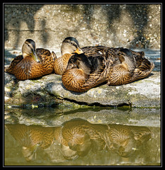 reflections (maar73) Tags: sun nature reflections duck zon eend maar73 sonyilce7m2 fe70300mmf4556goss