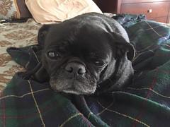 :-) Grendel (Kimberly C. Lee) Tags: pug dogsitting blackpug groggydog dogsonbed dogsofnyc