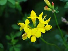 Field Flower (Tim Niclas Marvin Mller) Tags: outdoor field flower wiesenblume