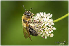 Another Busy Bee (Sharon Dow Photography) Tags: uk wild summer england flower nature rural sussex countryside wings nikon feeding westsussex britain head wildlife ngc reserve insects bee honey nectar pollen horsham honeybee naturalworld antennae thorax cowparsley flowerhead apis busybee abdomen 2016 springwatch flyinginsects apismellifera d7100 nikond7100 sharondowphotography june2016 warnhamnature