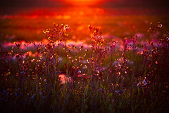 Dawn of the Wildflower (IanDMcGregor) Tags: ca flowers sunset sunlight canada colors sunrise photography nikon bokeh saskatchewan wildflower d800 canadianphotographer rokeby ianmcgregor ianmcgregorphotographycom