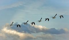 flight (DROSAN DEM) Tags: sky cloud bird fly flight aves pajaros cielo nubes gaviotas volar