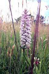 Common spotted orchid (billnbenj) Tags: pink orchid purple cumbria barrow wildorchid commonspottedorchid