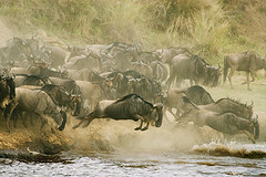 kenya003 (noyestravels) Tags: africa kenya migration serengeti masai maasai rivercrossing wildebeest riftvalley maasaimara marariver maasailand