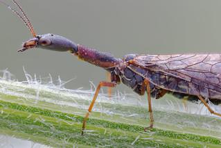Snakefly (Raphidioptera)