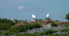 Nederland - Noord-Holland - Den Oever - Lepelaars (Henny Brouwers) Tags: bird waddenzee lepelaar