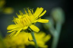 Pétales jaunes (Maxime Bonzi) Tags: photo france spring lyon macro flowers rhone herbes flower printemps tige jaune fleur yellow fleurs alpes