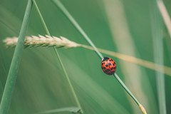 on the run (Das StadtKind) Tags: new red macro green rot nature grass germany landscape bavaria europe flickr sony ladybug gras grn popular makro a7 marienkfer naturephotography macrophotography kempten stadtkind sonya7 sonyilce7 sonyfe2890macrogoss