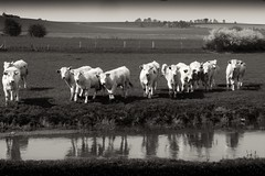 Tu veux ma photo !  / You want my picture! (Napafloma-Pictures) Tags: blackandwhite bw france cow eau noiretblanc prairie bandw fr reflets vaches calves pasdecalais veau maroeuil tamron1750 randonnee sonyslta77