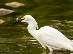 Egret catching a meal! (Rick Smotherman) Tags: park nature water birds canon garden outdoors morninglight spring fishing pond feeding may overcast 7d runningwater cloudysky canon300mmf4l canon7d canon14teleconverter