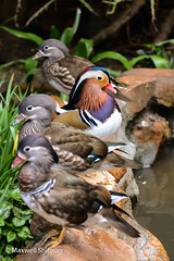 Male duck facing away from 3 females