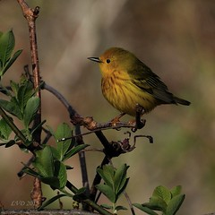 Yellow Warbler........Explored (l_dewitt) Tags: wildlife migration warbler yellowwarbler connecticutwildlife nikonimages warblerimages warblerimage