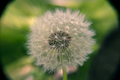 Paradox (TamedYoungMind) Tags: flowers plant black macro green floral canon weeds bokeh lion vignette pest dandy