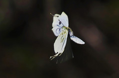 Cabbage White : Moving on ! ! ! (Clement Tang ** Busy **) Tags: summer nature butterfly insect inflight feeding australia victoria lepidoptera proboscis nationalgeographic macrophotography sidelit pierisrapae insecta cabbagewhite closetonature specinsect concordians eastlinktrail