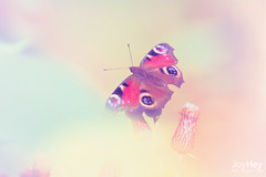"Pastel Butterfly • <a style=""font-size:0.8em;"" href=""https://www.flickr.com/photos/41772031@N08/8729922437/"" target=""_blank"">View on Flickr</a>"