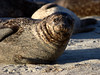 Brown spotted harbor seal