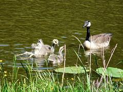 Zwemles . (Franc Le Blanc .) Tags: nature birds animals fauna lumix geese ngc panasonic drunen