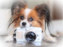 momo with PEN (kodemari) Tags: dog momo papillon 45mm 2013 ep5