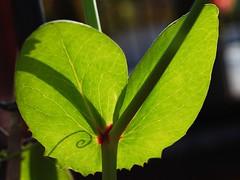 Spiral Shadow (0olong) Tags: shadow plants sunlight green garden peas growing pease