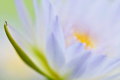 思念你  Missing You (Anna Kwa) Tags: abstract macro art nature singapore waterlily 莲花 睡莲 naturereserves nymphaeacaerulea loronghalus sacredbluelily blueegyptianwaterlily