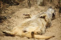 Afternoon Nap (Wellsty) Tags: atlanta zoo meerkat grantpark zooatlanta 50150mm sonya55