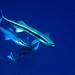 031 - Slender Suckerfish
